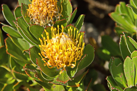 Yellow protea flowers in cape peninsula, Cape of good hope