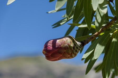 flowering plants: Protea flowers, South African flowering plants, sugarbushes