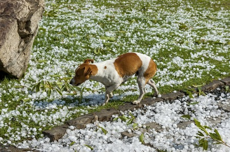 move in: Small dog move in  hail stone at garden after hailstorm