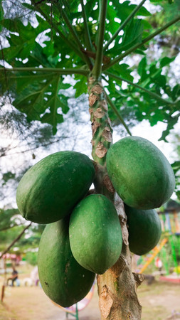 Papaya fruits organic with papaya tree background in tropical jungle Indonesia