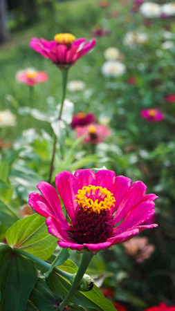 Beautiful zinnia flowers on green leaf background. Some zinnia flowers in close proximity in the summer garden