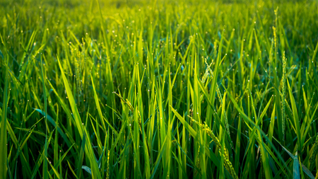 grain of dew in the rice fields in the morning