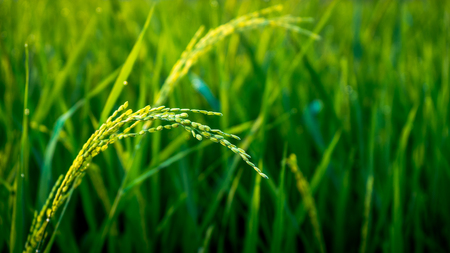 Close up of rice on the rice field in the morning