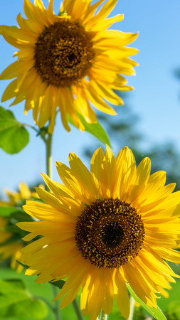close up sunflower that bloom with a white background in summer Reklamní fotografie