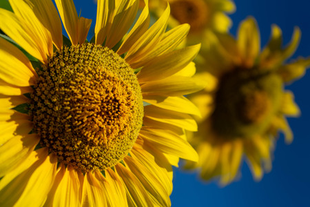 sunflowers that are blooming against the background of the blue sky