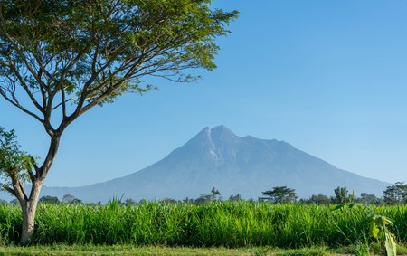 Beautiful mountain scenery in summer with the foreground of rice field and shady trees. Merapi Mountain in Indonesia.
