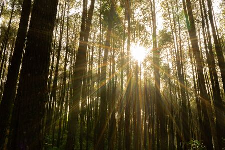 The sun shines between pine trees in the morning during spring