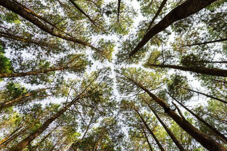 Low angle view of Pine trees tops in a forest from bottom with sky background