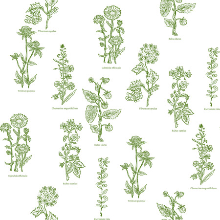 calendula: Medical herbs seamless pattern hand drawn vintage sketch vector illustration