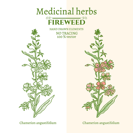 homeopathic: Medical plants and herbs: Willow-herb fireweed hand drawn vintage sketch vector illustration Illustration