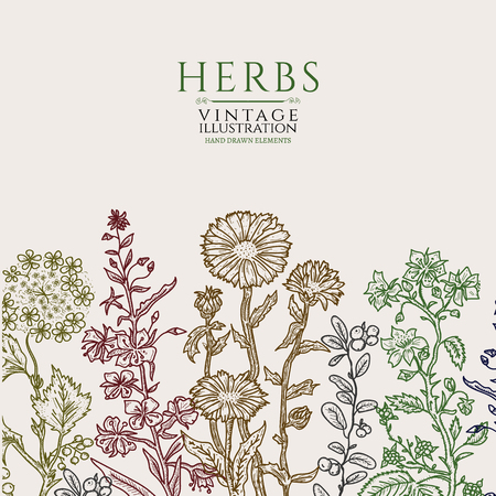 calendula: Medical herbs vintage template hand drawn sketch vector illustration