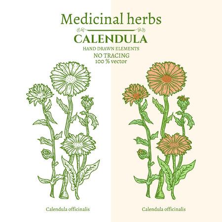 calendula: Medical plants and herbs: Calendula hand drawn vintage sketch vector illustration