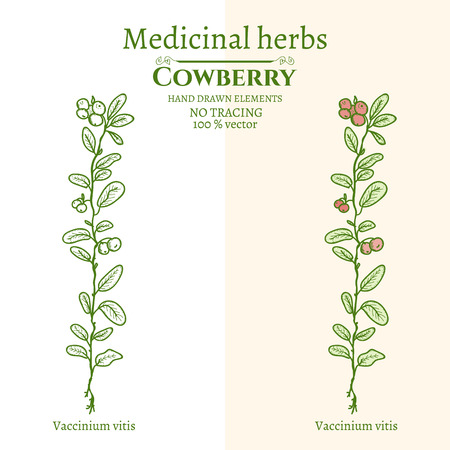 cowberry: Medical plants and herbs: Cowberry hand drawn vintage sketch vector illustration Illustration