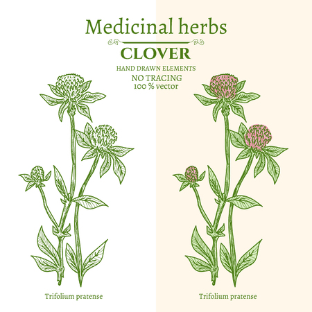 medicate: Medical plants and herbs: Clover hand drawn vintage sketch vector illustration