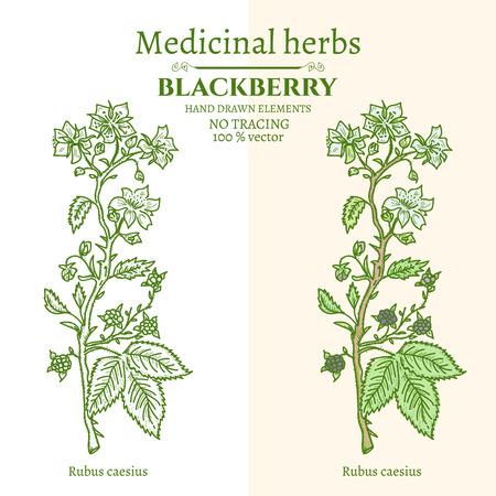 dewberry: Medical plants and herbs hand drawn vintage sketch vector illustration