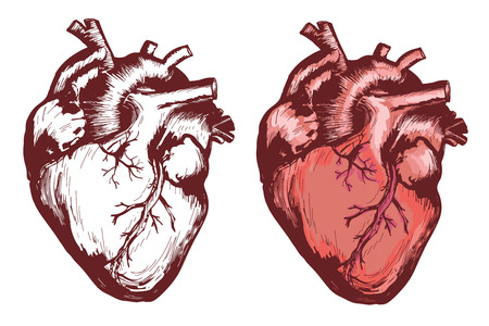 Human heart, anatomical heart hand drawn vector illustration