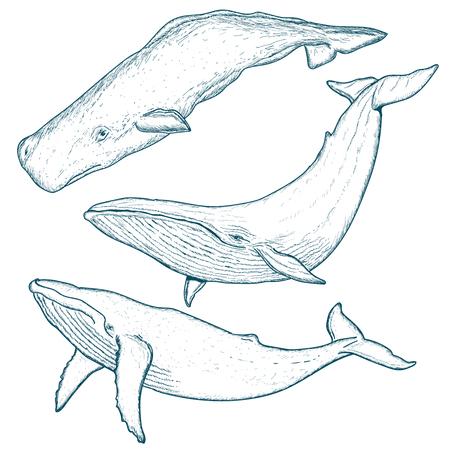 Walvissen set getrokken bultrug blauwe vinvis potvis kant vector Stock Illustratie