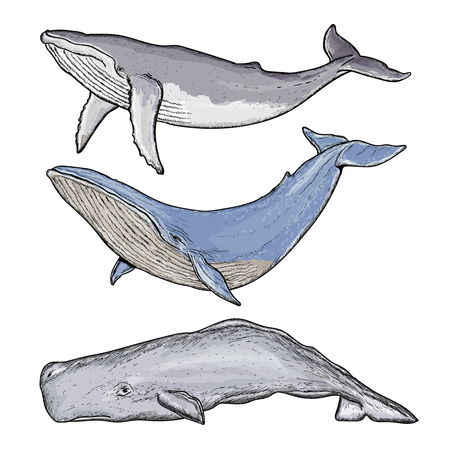 sperm whale: Whales collection humpback whale blue whale sperm whale hand drawn vector