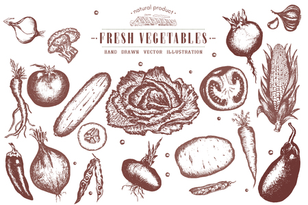 turnip: Vegetables vintage collection ink hand drawn vector