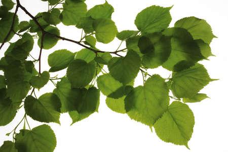 tilia: young lime tree leaves Tilia