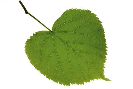 tilia: lime leave Tilia