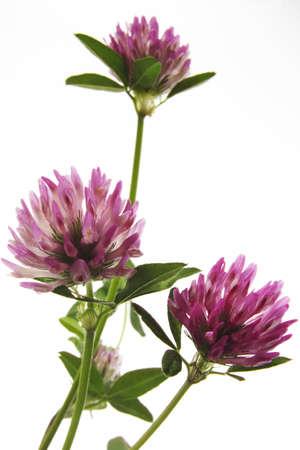 trifolium: clover Trifolium pratense