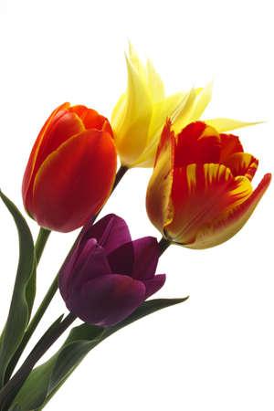 varying: Tulips Tulipa gesneriana