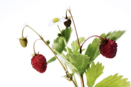 foodstill: woodstrawberry