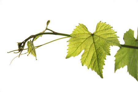 gracefully: Wine leaves LANG_EVOIMAGES
