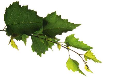 betula: Birch leaves, Betula