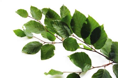 gracefully: Beech leaves LANG_EVOIMAGES