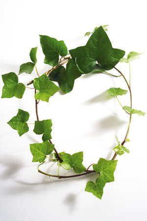 gracefully: Ivy leaves, Hedera helix