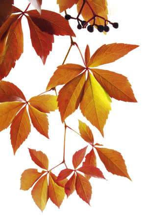 Virginia creeper, Parthenocissus spec. LANG_EVOIMAGES