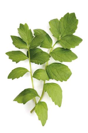 valerian plant: Valerian, Valeriana officinalis LANG_EVOIMAGES
