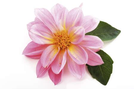 dahlia: Dahlia flores
