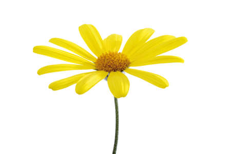 purely: Yellow marguerite