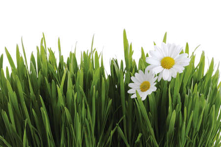 marguerites: Green grass and white marguerites LANG_EVOIMAGES