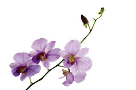 gracefully: Orchid panicle LANG_EVOIMAGES