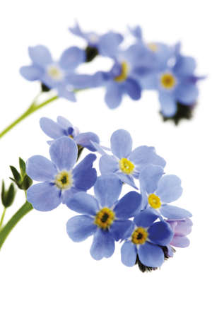 Forget-me-not, myosotis sylvatica