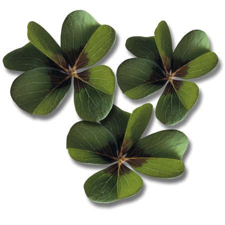 Four-leafed clover, close-up Stock Photo - 23674679