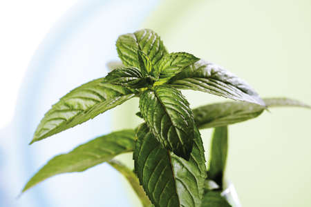 mentha: Mint, Mentha spicata Nigra