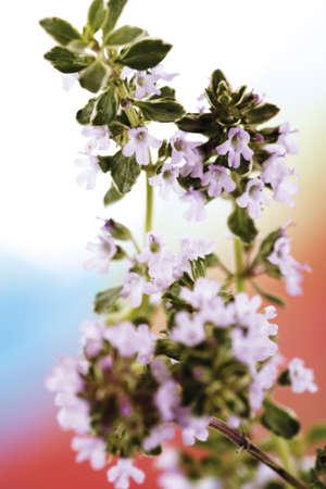 foodstill: Garden thyme, Tymus serpyllum, Lemon Thyme pink