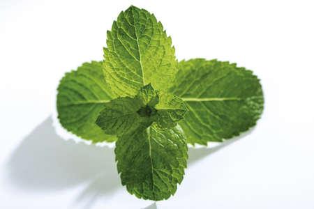 mentha: Spanish Mint, mentha spicata