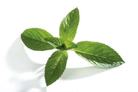 mentha: Mint, mentha spicata