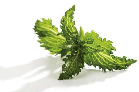 mentha: Mint, Mentha spicata, Mentha piperita Peppermint LANG_EVOIMAGES