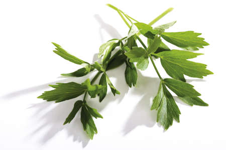 Coriander, Chinese parsley, Indian parsley, Coriandrum sativum Stock Photo - 23674727