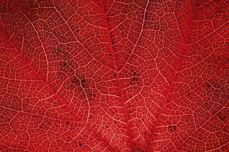 autumn colouring: Autumnal virginia creeper leafs LANG_EVOIMAGES