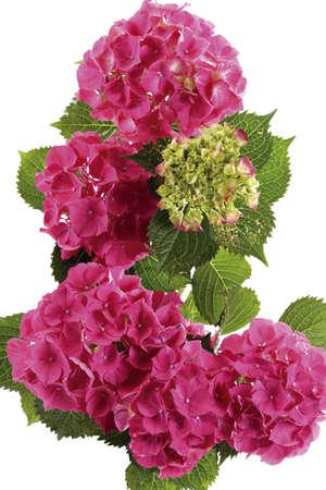 gracefully: Hydrangea,close-up