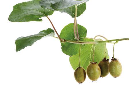actinidia deliciosa: Kiwis on twig,close-up