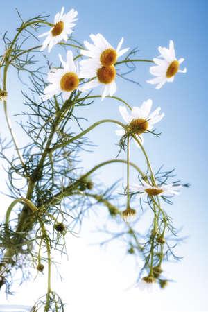 matricaria recutita: Fiori di camomilla, close-up